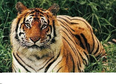 20070524213049-tigre.jpg
